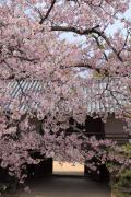 彦根城の太鼓門櫓に咲き乱れる桜