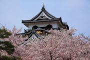 桜咲く彦根城天守閣