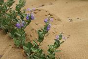 鳥取砂丘のハマゴウ