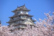 姫路城の400年前からの桜