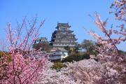色とりどりの桜と姫路城