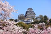 桜咲き誇る姫路城