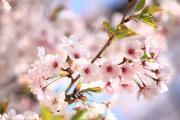 春色の桜(姫路城にて)