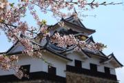 桜の彼方の彦根城