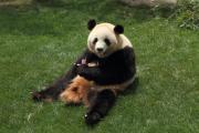 食事中、ちょっと一息のお姉さんパンダ
