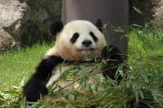 つまようじを使う?パンダ