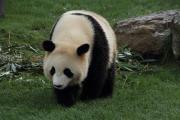 のしのし歩くお姉さんパンダ